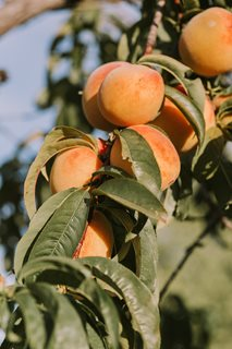 Apricots – a staple grown in every garden in #brnoregion